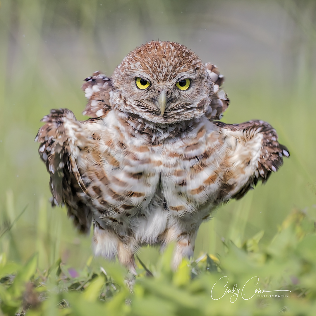Cape Coral burrowing owl with feathers ruffled.