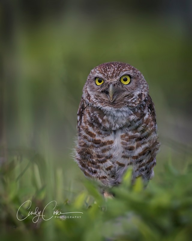 Burrowing owl in the grass, Cape Coral, Florida