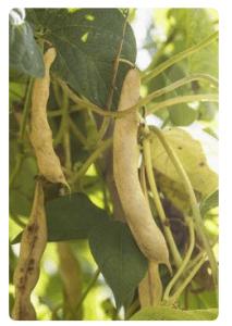 yellow bean pods