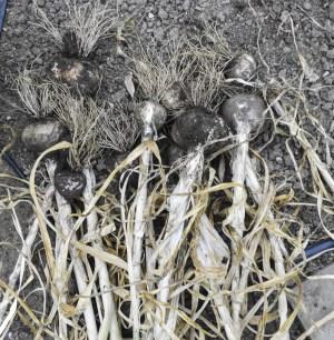garlic pulled from garden
