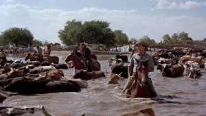 Traversée des vaches dans El Perdido