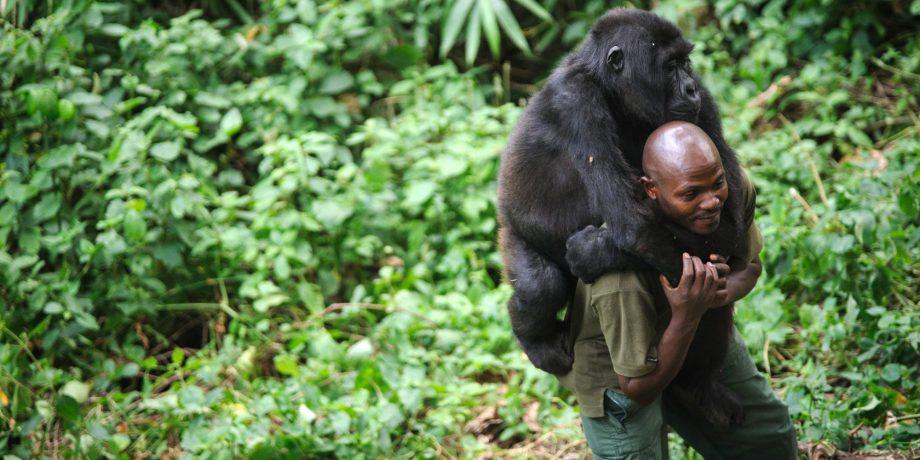 DRCONGO-UNREST-WILDLIFE-GORILLA