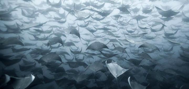 Banco de peces mantarraya