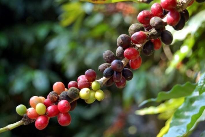 Los efectos del café como droga