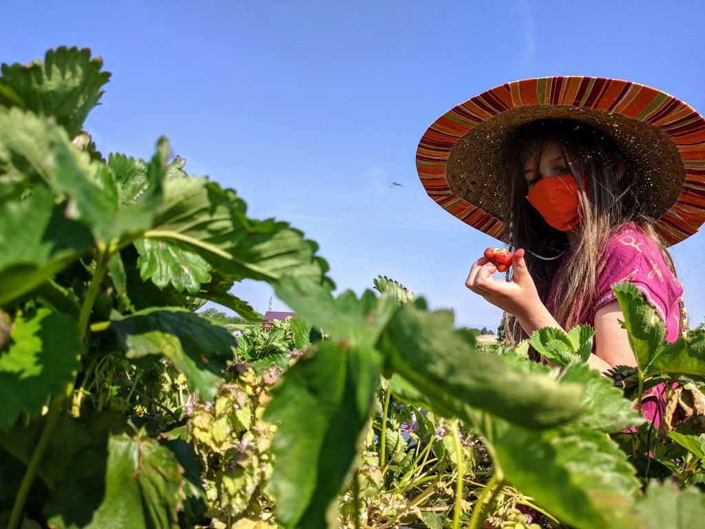 Petra examines a strawberry in the strawberry patch. She's wearing a mask and a big sombrero.