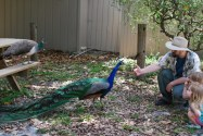 Making friends with a peacock.