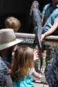 Petting a five-year-old alligator.