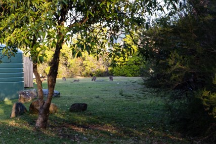 Wild kangaroos and rabbits in Jervis Bay