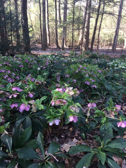 Corner full of hellebores.