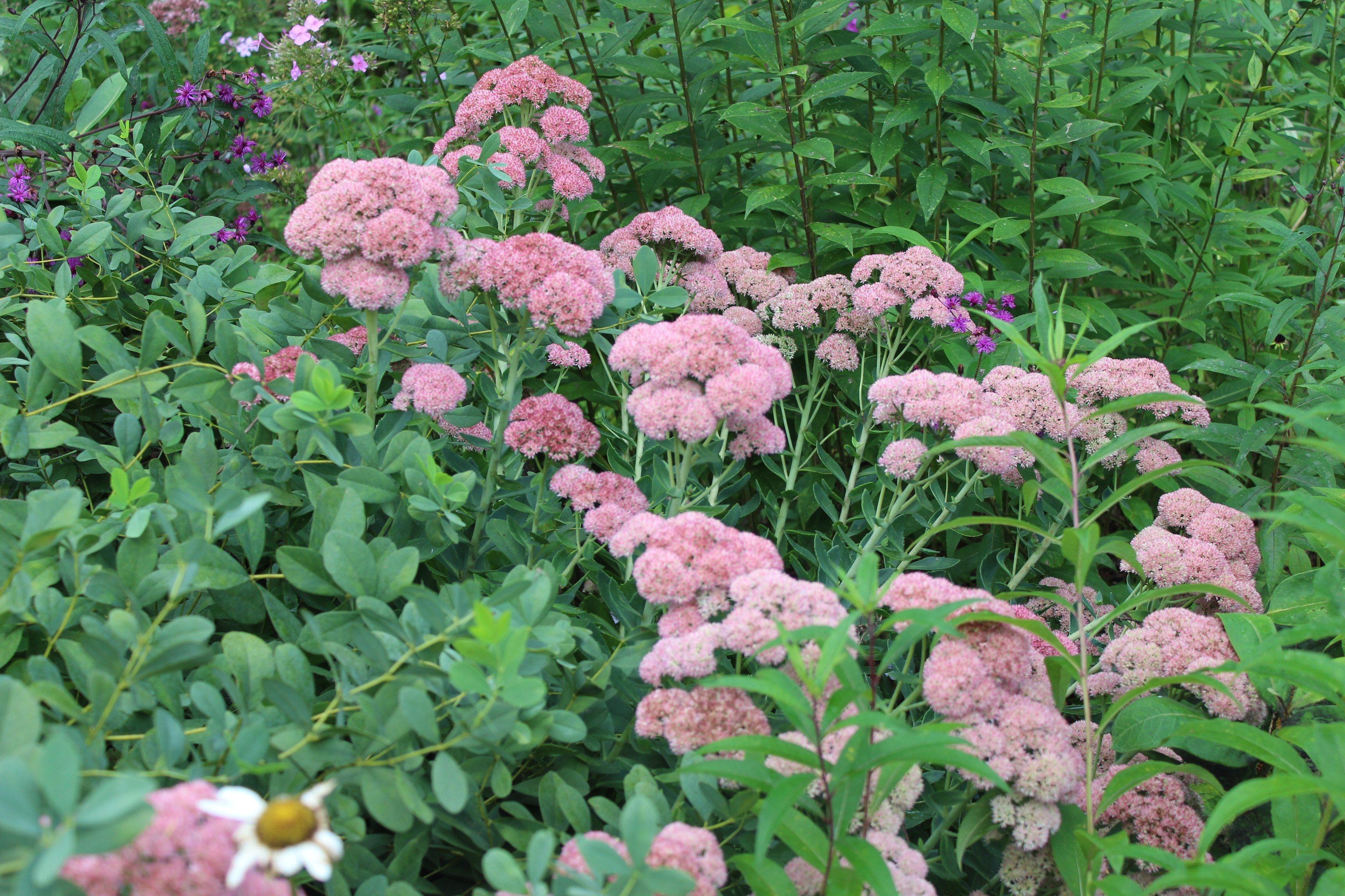 Pollinator garden with Autumn Joy sedum.