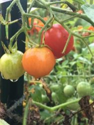 Cherry tomatoes ripening on the vine. I promise I did not steal one.