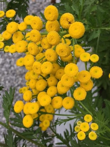 Tansy in the herb garden.