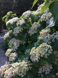 Linden viburnum, last one to bloom.