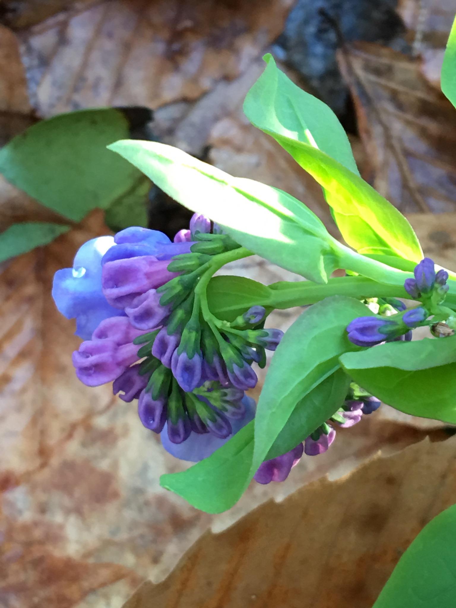 Virginia bluebells.
