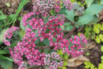 Sedum, can't remember which one