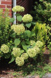Hydreangea arborescens