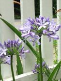 Agapanthus for Aggie
