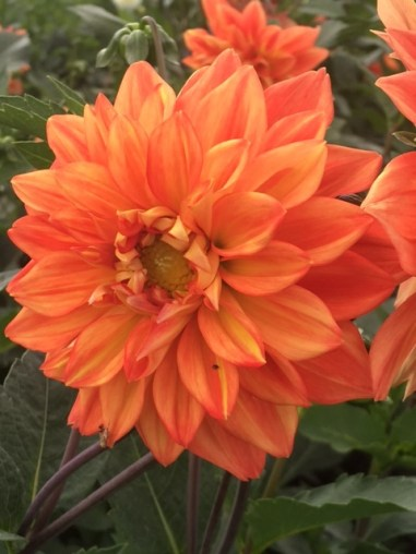 The dahlias are the ones they remember from previous gardens.
