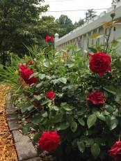 'Kashmir' rose a workhorse, blooms like this all season.
