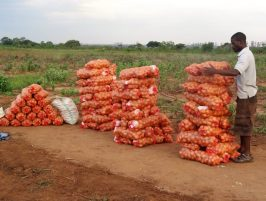Image result for POTATO PRODUCTION IN AFRICA CAN BE INCREASED BY 140%: FIND OUT HOW