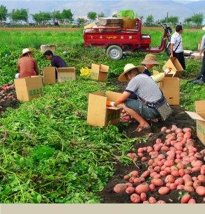 Improved potato varieties benefit millions in Asia - International Potato  Center