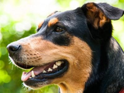 tandproblemen bij de hond
