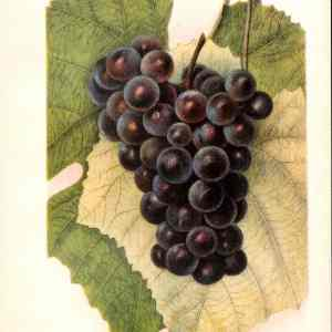#246 Headlight Grape, 1903