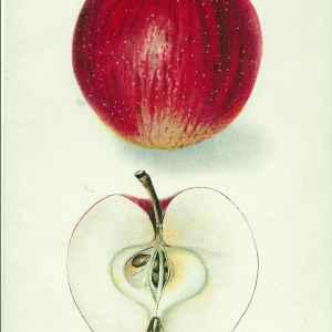 #254 Delicious Apple, 1907