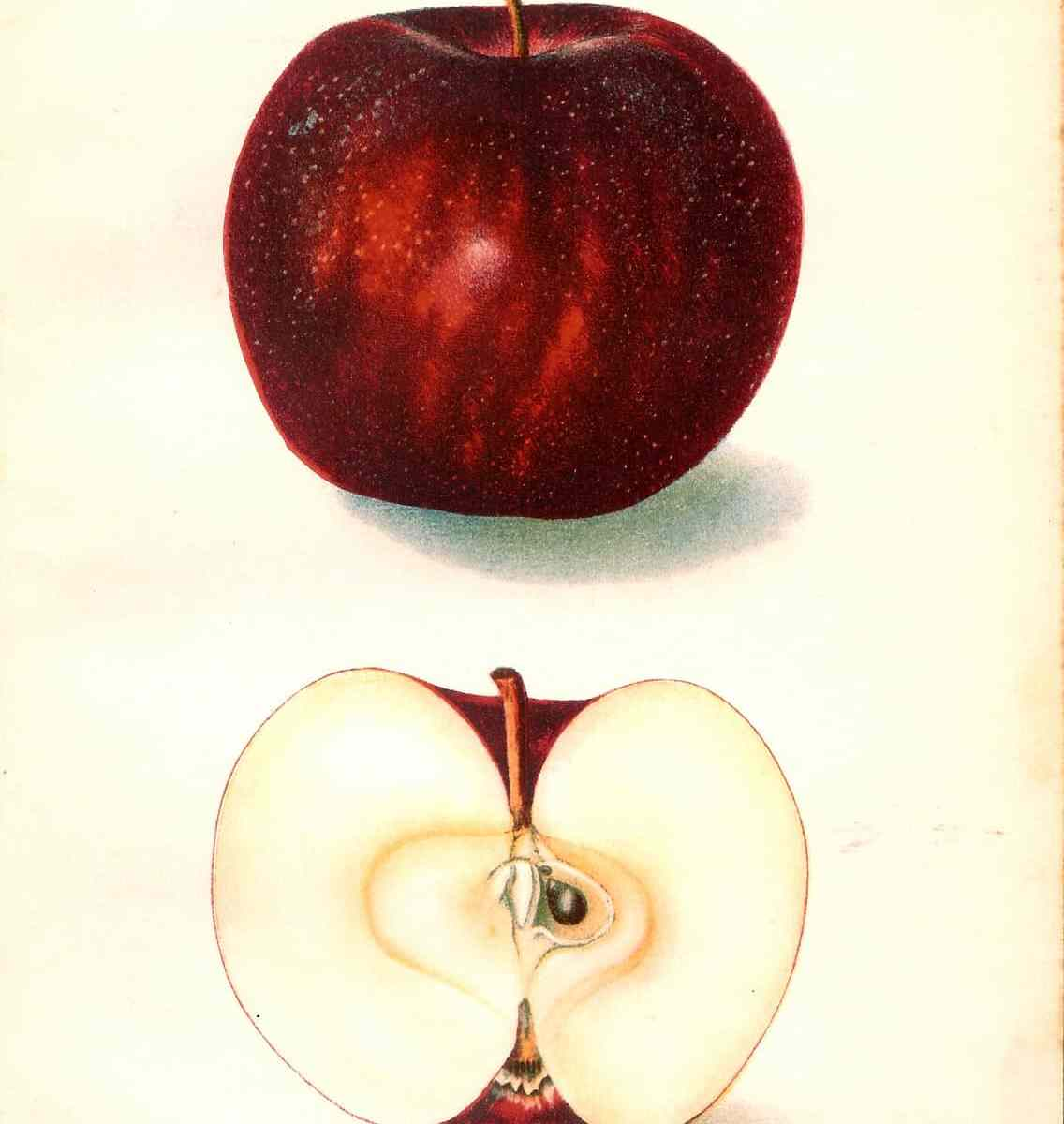255 dept of ag magnate apple 1906