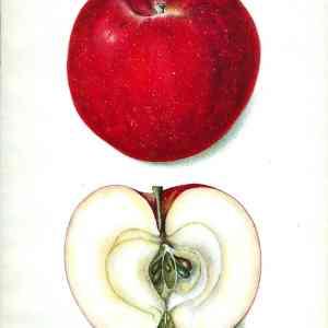 #256 Akin Apple, 1903