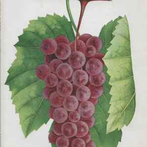 #3842 Brilliant Grapes, 1890