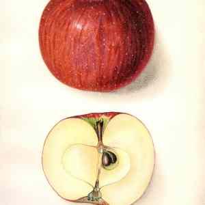 #454 Monocacy Apple, 1912
