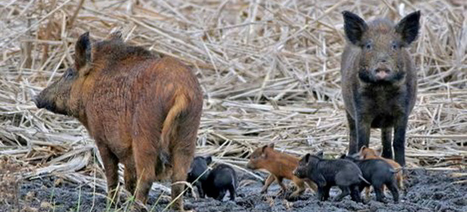 feral-pig_feature