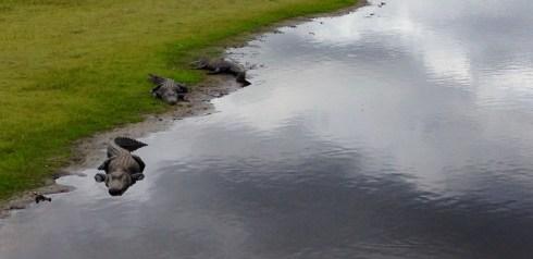 Alligators at Myakka