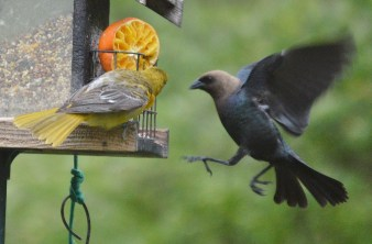 Female Baltimore Oriole and Male Brown-headed Cowbird