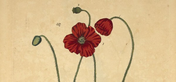 Detail from a botanical illustration of a red poppy flower.