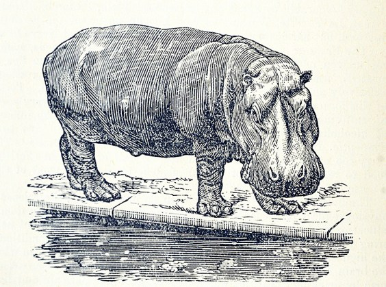 Engraving of a hippopotamus eating by a pool.