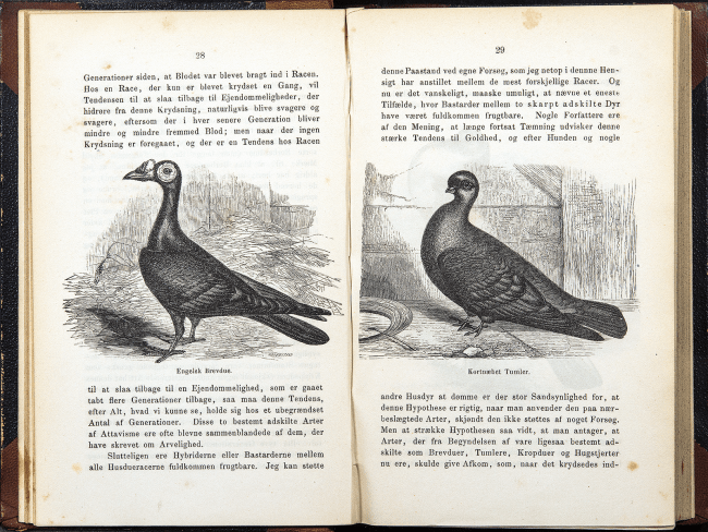 Illustrations of two birds from a Danish edition of the Origin of Species.
