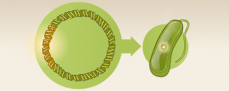 Insulin now part of the plasmid is returned to the bacteria.