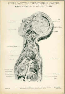 A black and white crossection of the head and chest seen from the side.