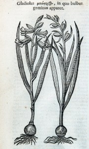 A simple botanical illustration of gladiolus bulbs with leaves and flowers.