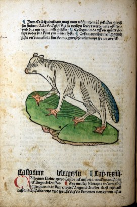 A colored woodcut depicting an animal that resembles a possum but with webbed feet and a scaly tail.