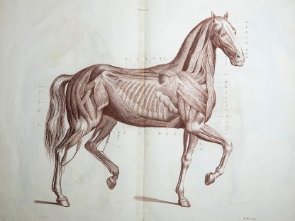 A copperplate engraving of the musculature of a horse.