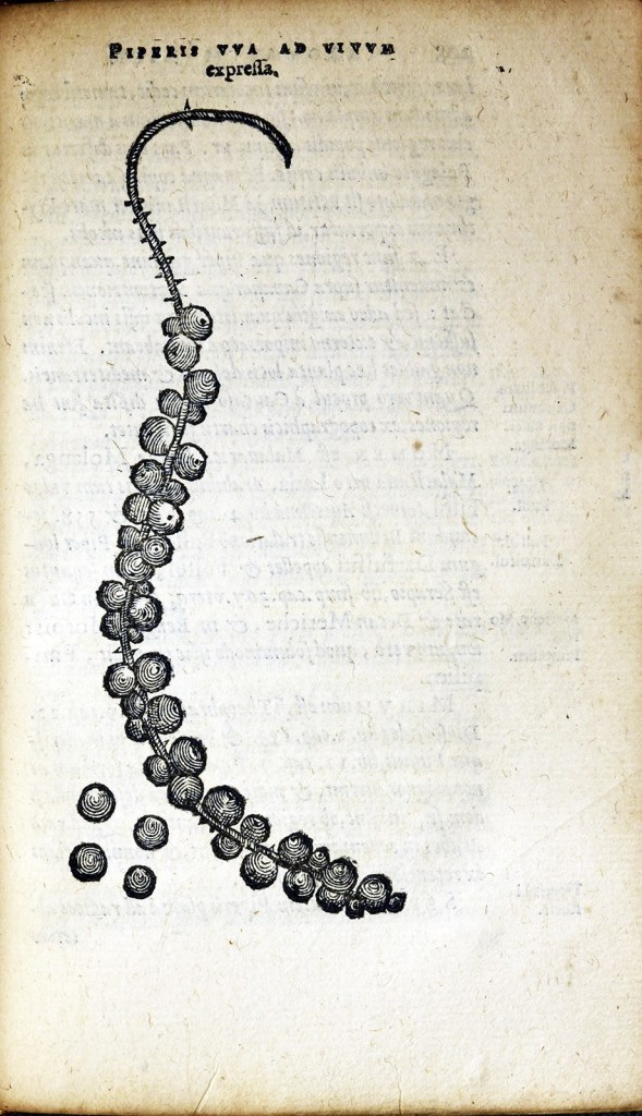 An engraving of a long stem with round berries clustered along it.