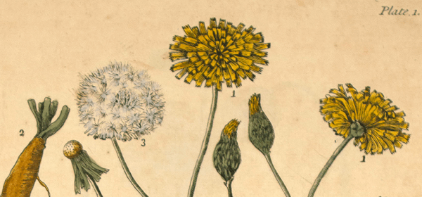 Colored botanical illustration of a dandelion plant.