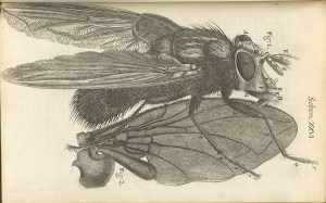 Drawing of a blue fly, as see under a microscope