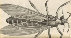 Drawing of a gnat, as seen under a microscope