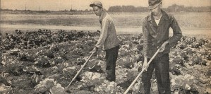 Two men carefully work with ling handled tools in a cabbage patch.