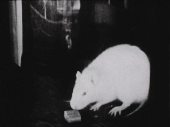 A rat with a pellet.