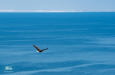 A huge eagle hunting for a nice fresh fish. Siberian drift ice in the back.